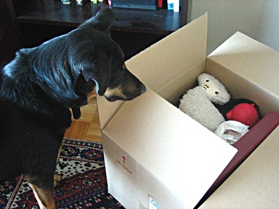 A dog looks in a cardboard box where his toys have been packed for a move.